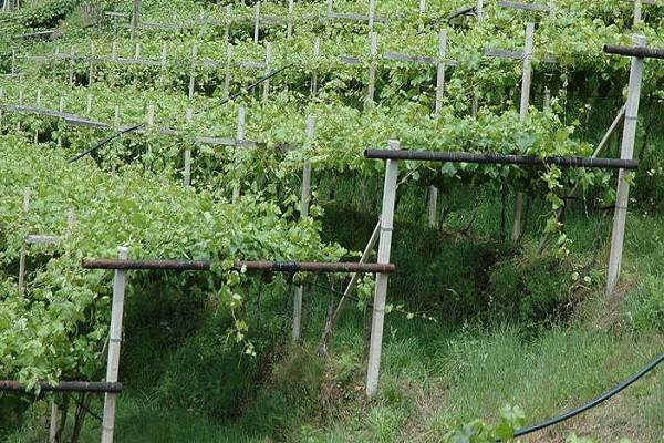 Как правильно сажать виноград саженцами весной