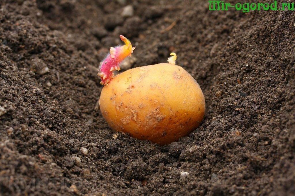 Как удобрять картофель – правильная подкормка картошки