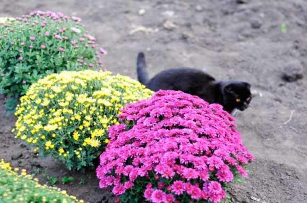 Цветы хризантемы — описание многолетнего растения. инструкция по посадке и уходу с фотографиями