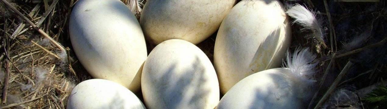 Сколько дней гуси высиживают яйца? сколько яиц высиживает гусыня? - общая информация - 2020