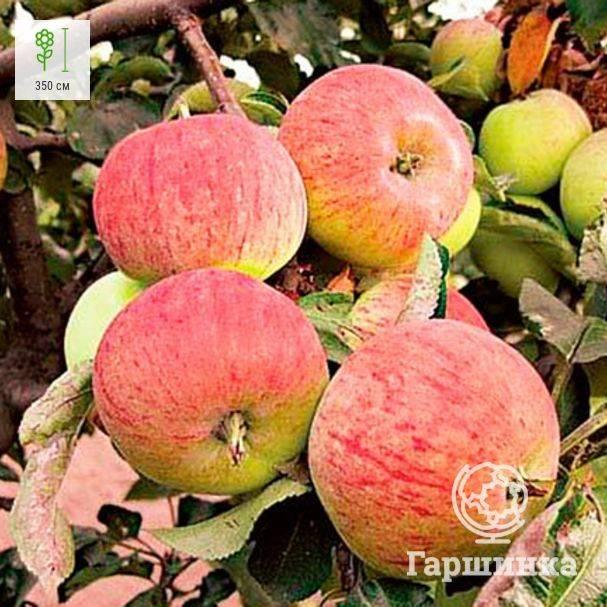 """Яблоня """"орловим"""": описание сорта и фото, особенности выращивания и борьбы с болезнями"""