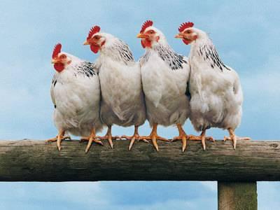 Описание препарата энрофлон для домашней птицы
