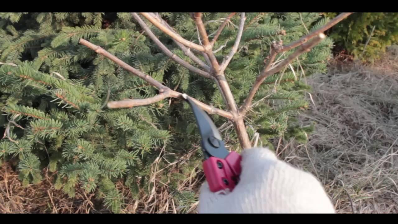 Штамбовая гортензия: как сформировать гортензию метельчатую на штамбе