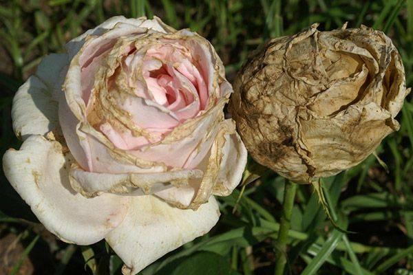 Болезни роз – распознавание и лечение