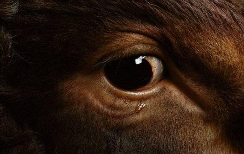 У коровы болят глаза что делать