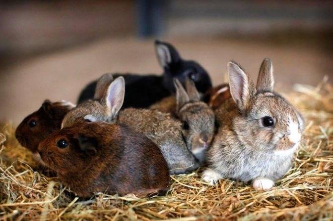 Чем и как выкормить новорожденных крольчат без крольчихи?