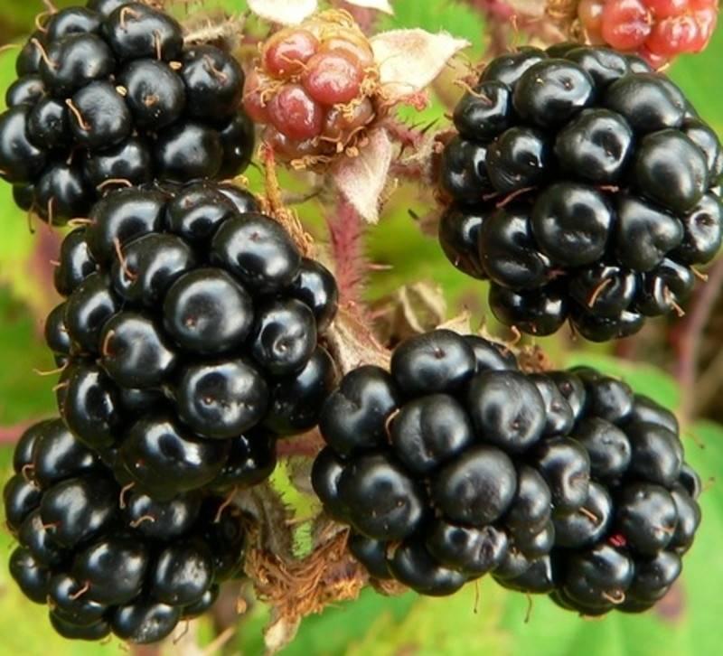 Ежевика агавам описание — ягоды грибы