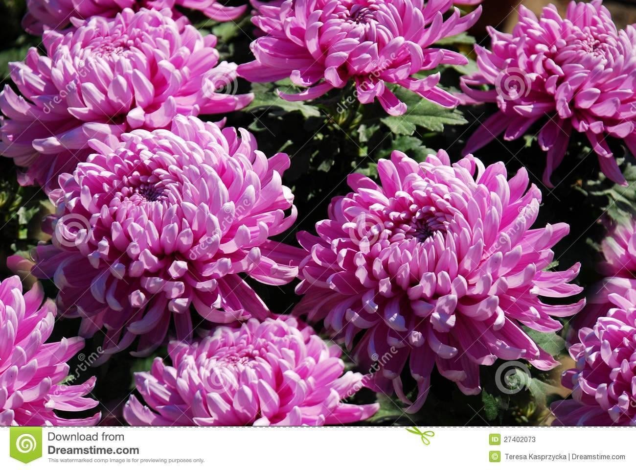 Хризантема домашняя: описание, сорта, выращивание в горшках, уход и размножение, возможные болезни (40+ фото & видео) +отзывы