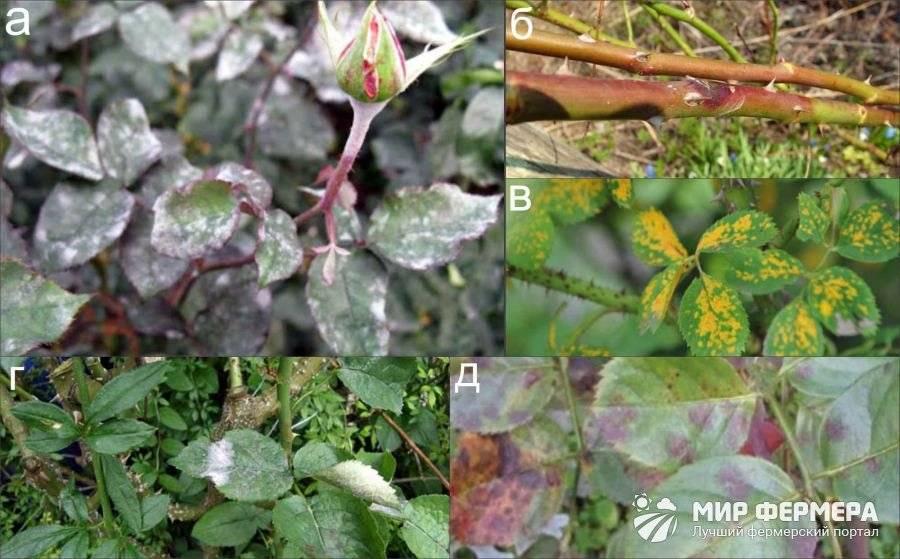 О болезнях роз: почему и что делать, как лечить заболевания цветов