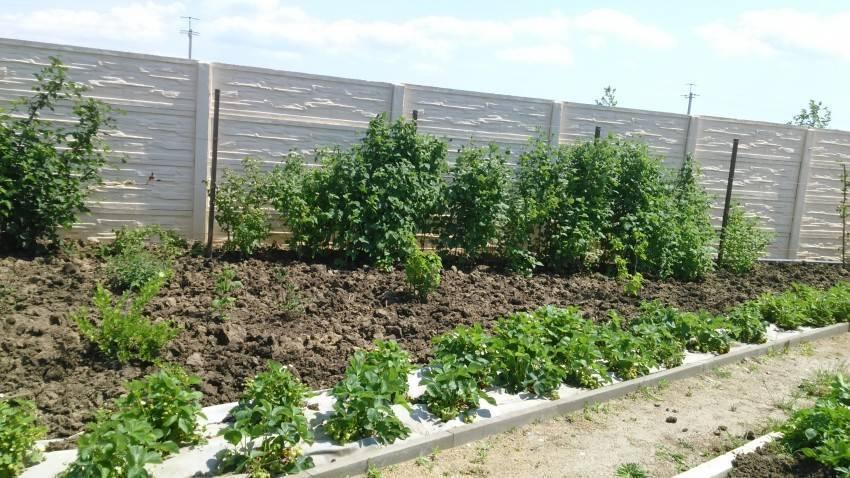 Ваш первый сад: как выбрать хорошие саженцы смородины и крыжовника