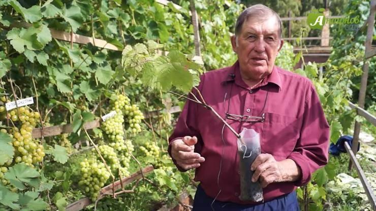 Посадка винограда в сибири советы для начинающих