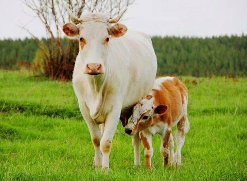 Календарь отела коров: как определить срок