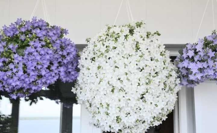 """Цветы """"жених и невеста"""": посадка и уход"""