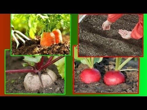 Сеем морковь правильно – как, где и когда