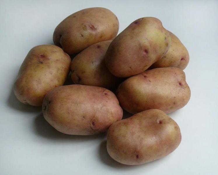 Картофель беллароза - характеристика сорта и особенности выращивания