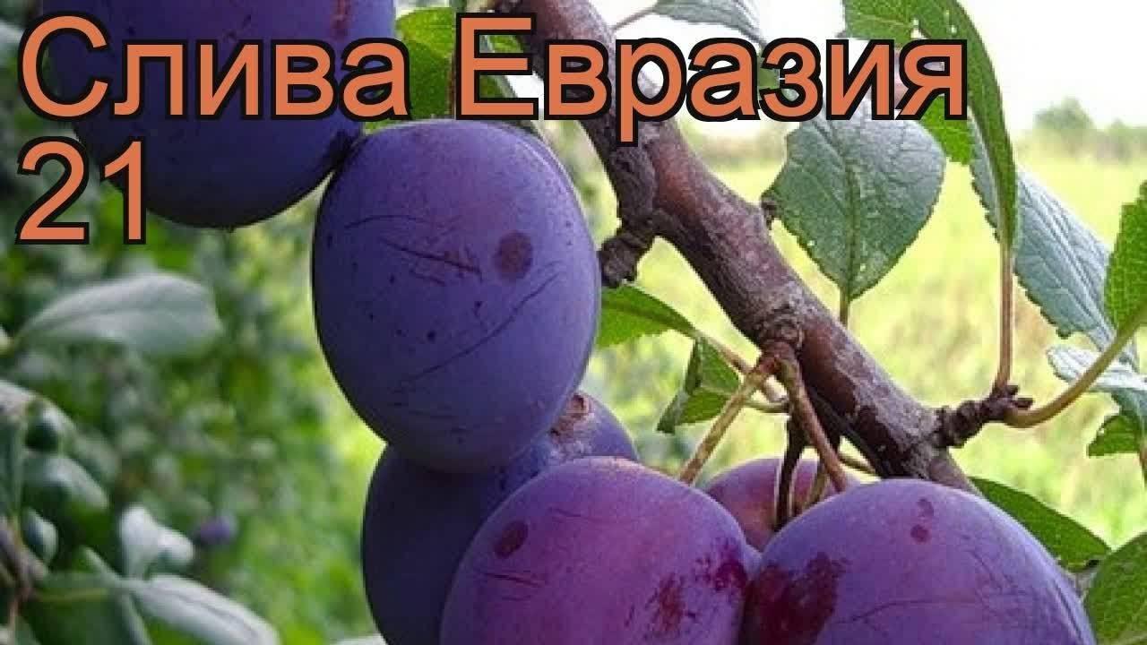 Слива — евразия: описание сорта, агротехника выращивания
