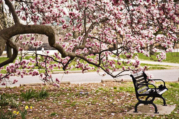 Цветки на растении магнолия: посадка и уход за деревом