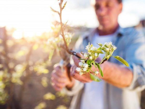 Можно ли размножить яблоню черенками