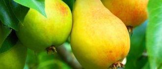 """Груша """"кафедральная"""": характеристика и описание сорта, посадка и ухода, фото плодов"""