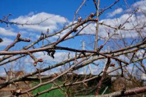 Почему у черешни вянут листья - 120 фото чем и как лечить черешню