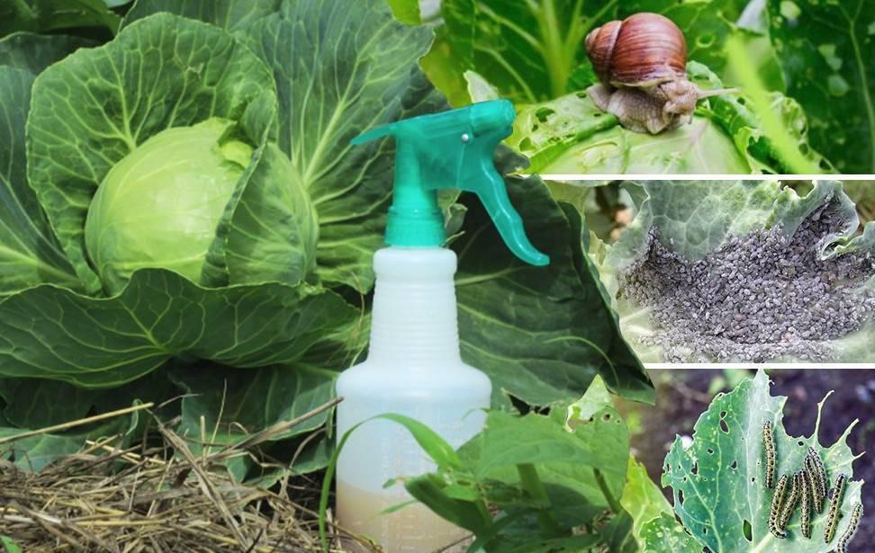Опрыскивание капусты уксусом от вредителей