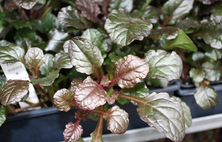 Все о растении живучка ползучая: описание женевской, хиосской, мохнатой аюги