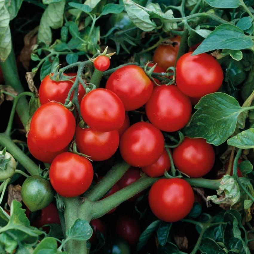 Фитоспорин для томатов: методы, способы обработки, видео инструкция и 105 фото результата применения
