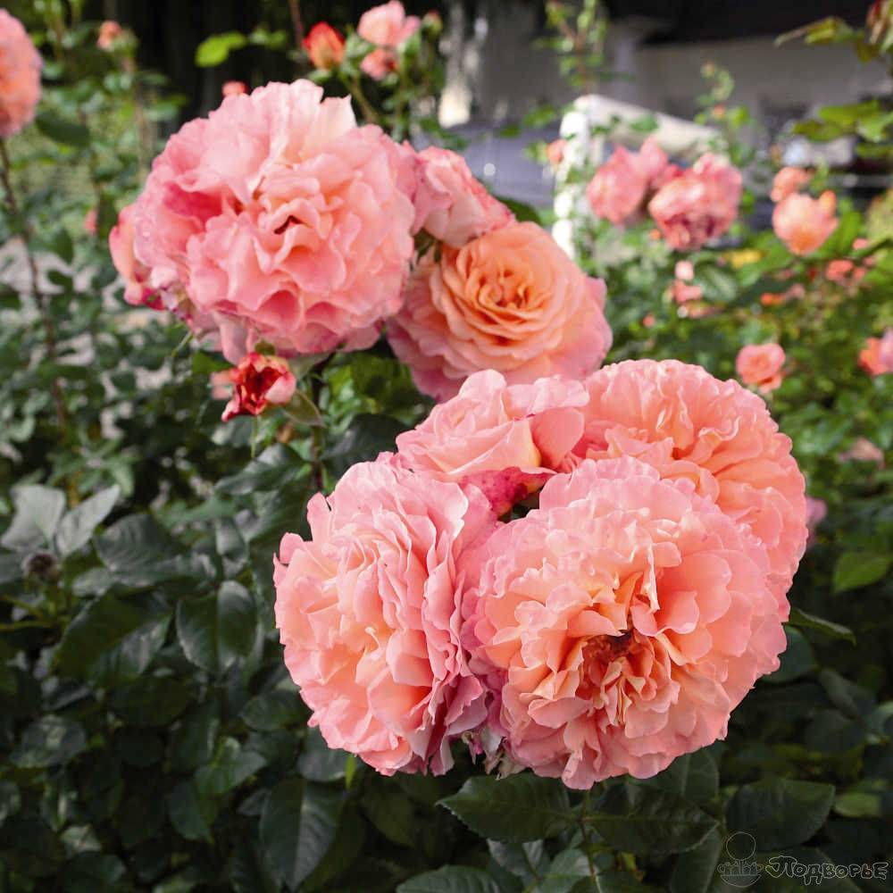 Роза августа луиза: фото и описание, отзывы