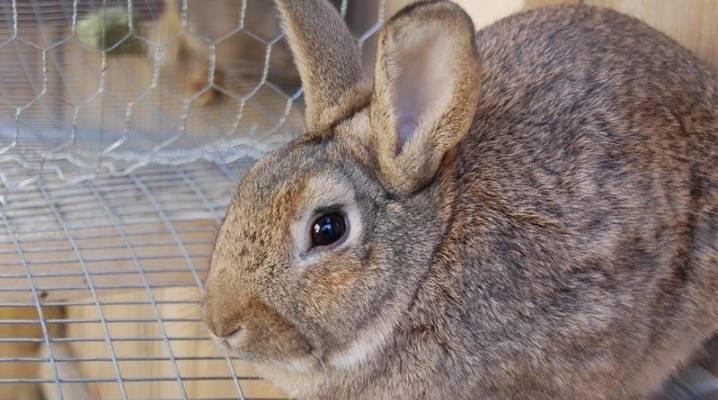 Каким должен быть цвет мочи у кролика - общая информация - 2020