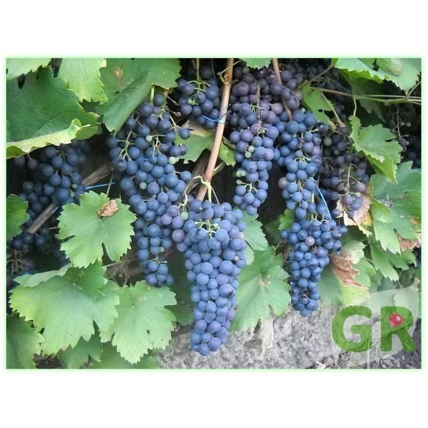 Виноград саперави —грузинский сорт вина и беседок