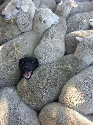 Порода овец дорпер: особенности, содержание и разведение