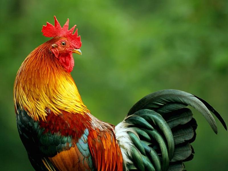 Что сделать, чтобы курица не села на яйца? || как отучить курицу садиться на яйца