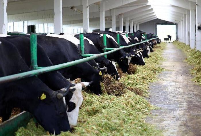 Сколько сена нужно корове на зиму и как его хранить