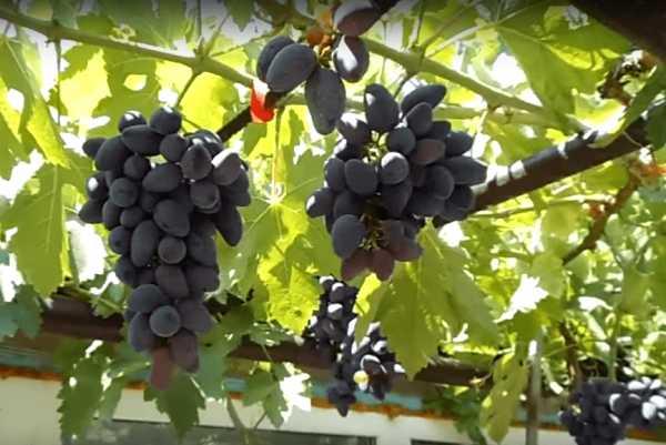 Нежный юноша из садов диониса или суровый воин? универсальный виноград «викинг»