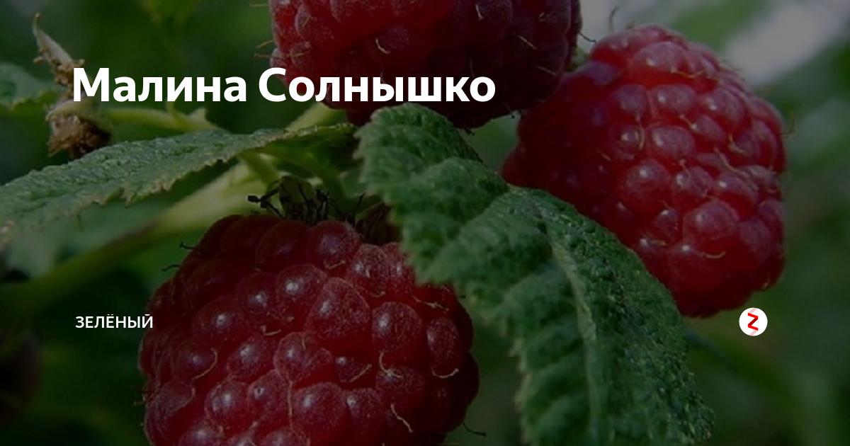 Описание и характеристики сорта малины солнышко, посадка, выращивание и уход