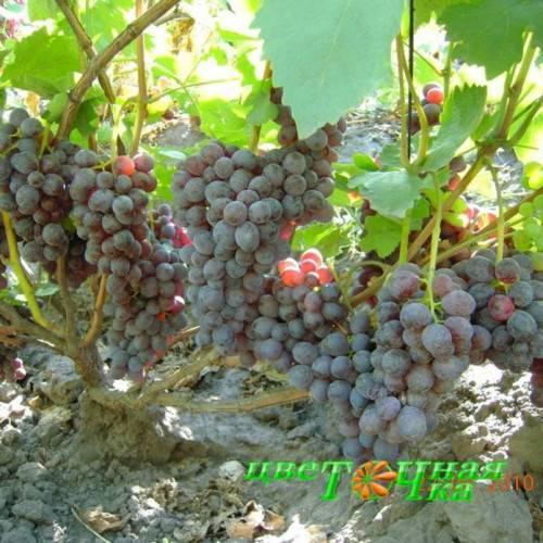 Виноград фиолетовый ранний: как вырастить с учётом сортовых особенностей