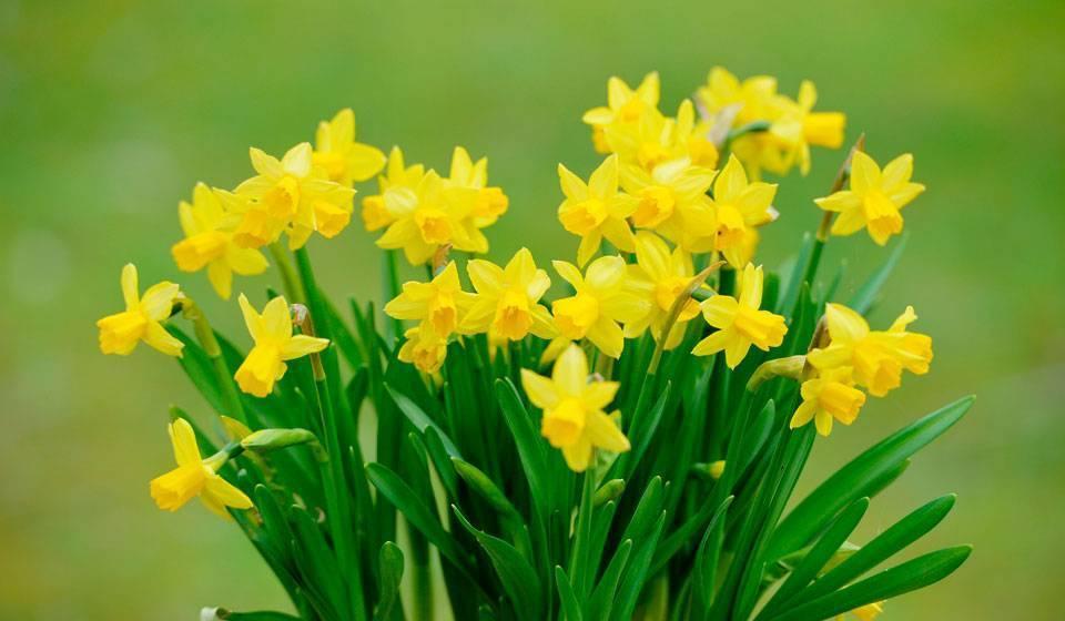 Все о цветке нарциссе: как выглядит, описание, выращивание в домашних условиях