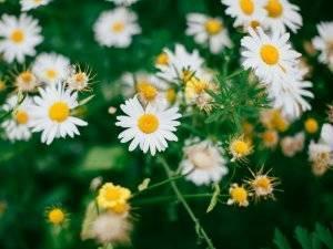 18 цветов похожих на ромашки – описание и характеристика растений