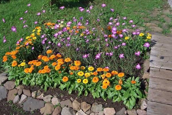 Посев календулы под зиму — залог раннего цветения