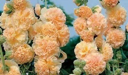 Штокроза (65 фото): описание многолетних сортов цветка. в чем различия с мальвой? как вырастить штокрозу розовую в саду? болезни и вредители