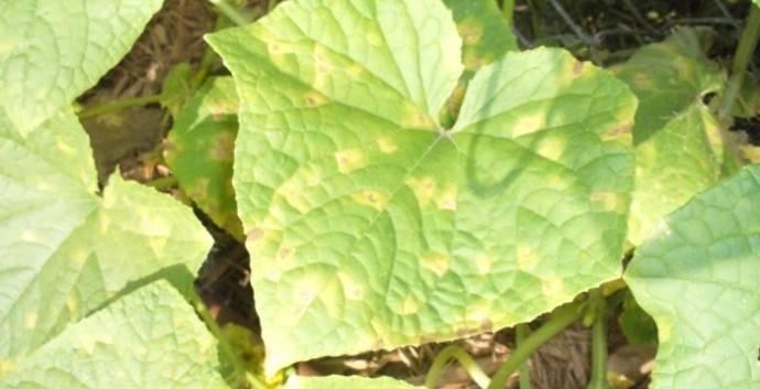 Почему у огурцов желтеют листья? как бороться с проблемой?