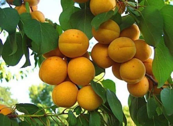 Абрикос — это фрукт или ягода?