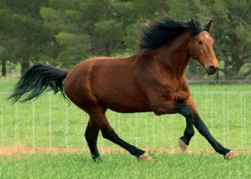 Вороной конь (42 фото): какой это цвет лошади? разновидности масти, черные и серебристые жеребята