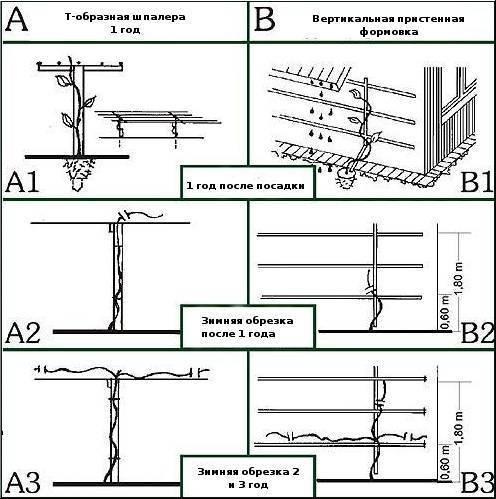 Обрезка актинидии весной. актинидия: описание растения, посадка и уход как обрезать актинидию весной
