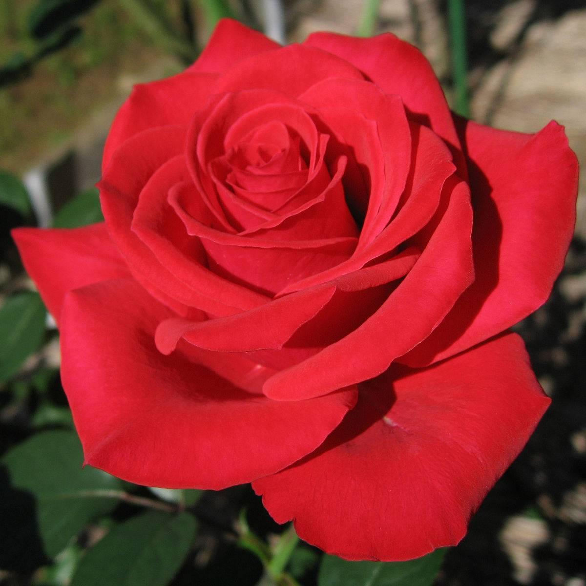 Почему роза не растет, 10 частых ошибок при выращивании роз