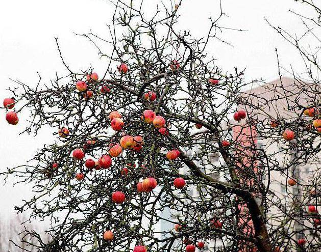 О яблоне Заветное: описание и характеристики сорта, посадка и уход