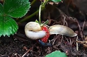 Слизни на клубнике: как избавиться, чем бороться если клубнику едят слизни
