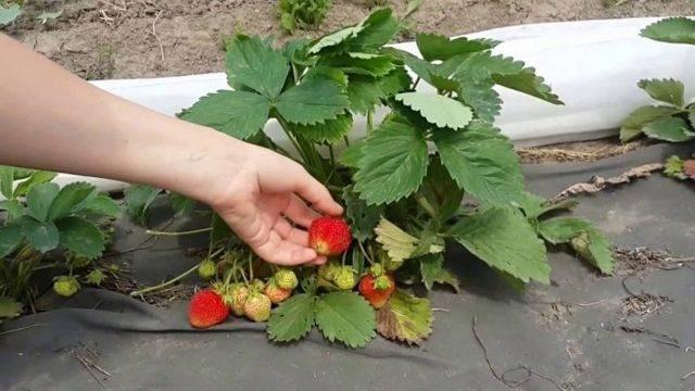 Клубника сорт первоклассница: ягодка с пикантной кислинкой