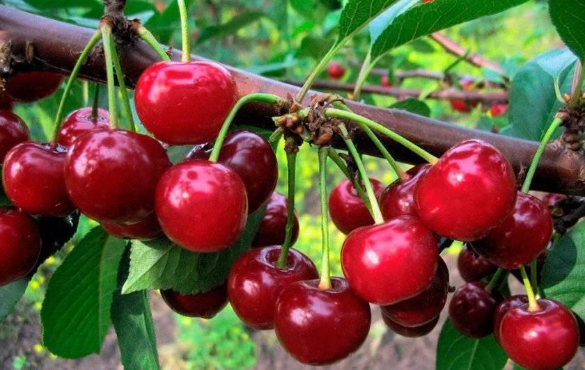 О гибридных сортах черешни с вишней и сливой: описание, посадка, уход