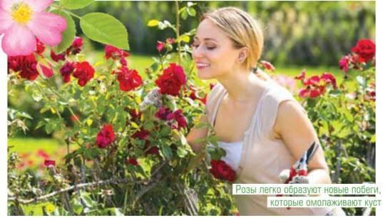 Режь с умом — будешь с цветком, или летняя обрезка роз